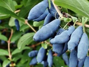 Жимолость: описание растения и разнообразие сортов