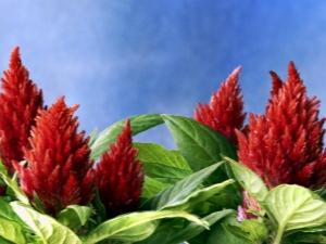 Амарант: выращивание, посадка и уход в открытом грунте