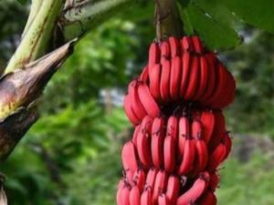 Красные бананы что с ними делать дозреть