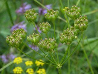 Пастернак (овощ): полезные свойства и противопоказания растения, листья
