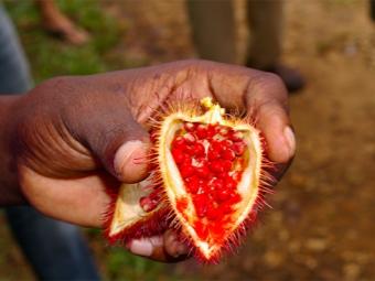 Семена аннато применяются в медицине