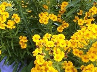 Цветы эстрагона