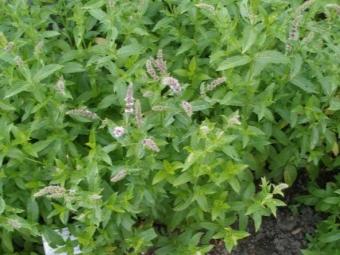 Выращивание перечной мяты в саду