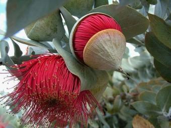 Цветы эвкалипта красные