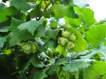 Зеленый плод фундука