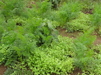 Кресс-салат в огороде