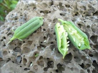 Семена белого кунжута в коробочке