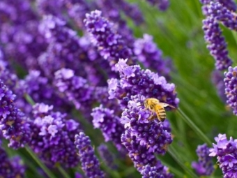Лаванду очень любят пчелы