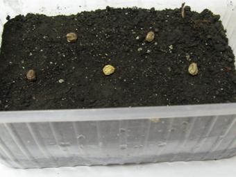Посадка семян настурции