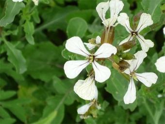 Цветы рукколы