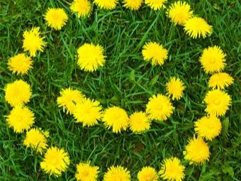 Цветы одуванчика лекарственного