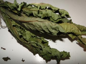 Сухие листья одуванчика