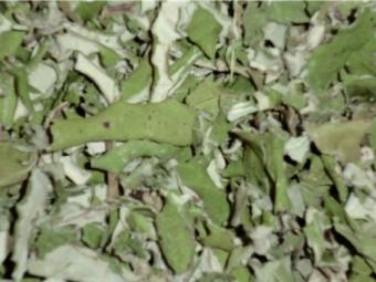 Сухие листья мать-и-мачехи