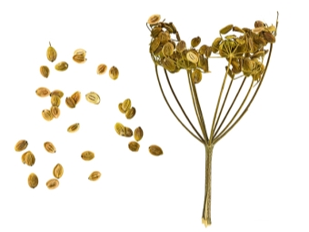 Семена пастернака