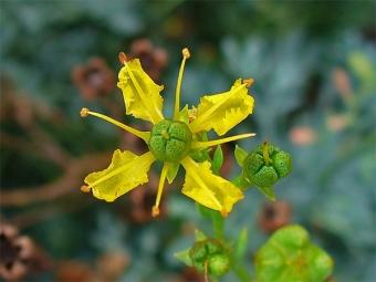 Цветок руты душистой