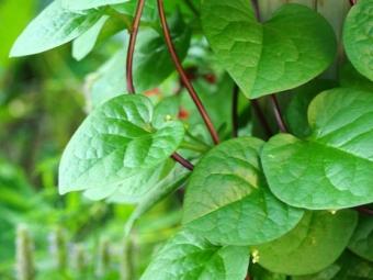 Малабарский шпинат