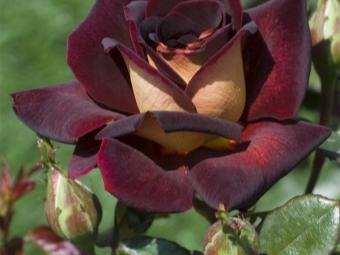 Цветок гибридной садовой розы