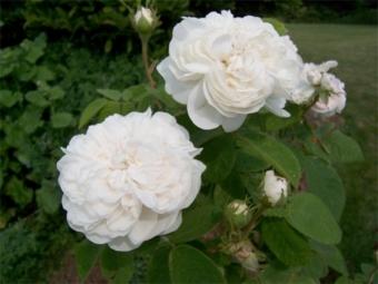Розы альба