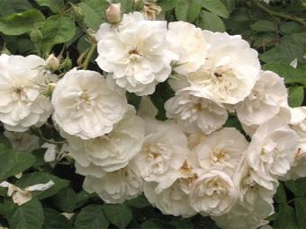 Розы айшире