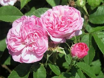 Дамасские розы