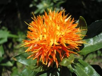 Цветок сафлора