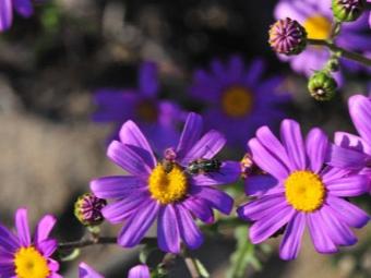Фелиция цветы выращивание 47