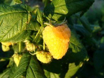 Ремонтантная малина Евразия выращиваем перспективный сорт