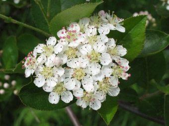 Черноплодная рябина куст или дерево