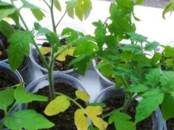 Болезни рассады томатов и их лечение в домашних условиях