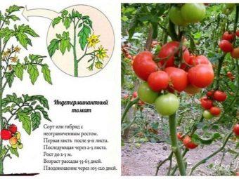 Какого числа высаживать помидоры в теплицу и открытый грунт