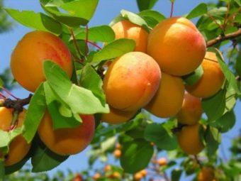 Агроном: Абрикос – это большая ягода или фрукт в 2019 году