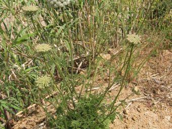 Посев, выращивание и уход за морковью в открытом грунте