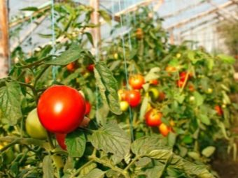 Совместимость овощей в теплице - что с чем можно сажать а что нельзя?