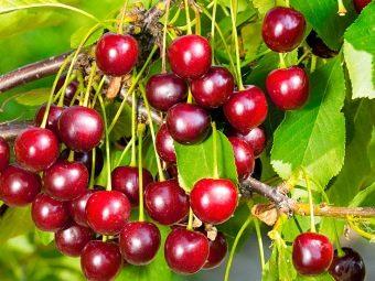 Описание сортов кустарниковой вишни посадка и уход правила выращивания