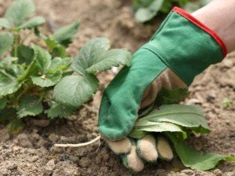 Почему у клубники скручиваются листья и что делать чем обработать кусты