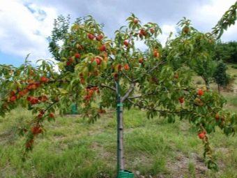 Персик это фрукт или большая ягода