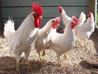 Цвет желтка и скорлупы у куриных яиц от чего зависит?