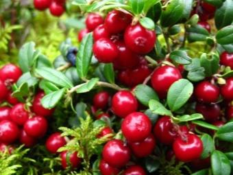 Компот из брусники для взрослых, детей, на зиму: лучшие рецепты. Как сварить компот из брусники и клюквы, яблок, груш, малины, черники, без сахара?