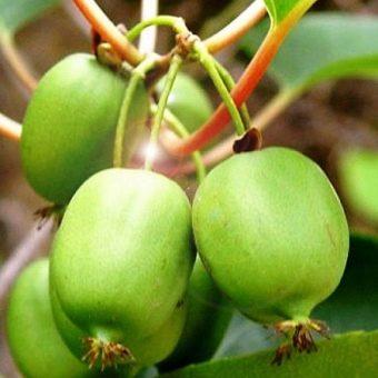 Актинидия посадка и уход, особенности выращивания, виды и лучшие сорта с описанием характеристикой и отзывами