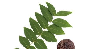 Лист черного ореха
