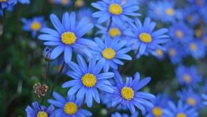 Фелиция - синяя «ромашка»