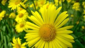 Дороникум – желтая «ромашка»