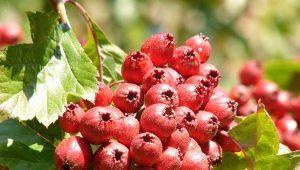 Листья, цветы и плоды боярышника: заготовка и употребление