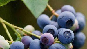 Садовая голубика: особенности выращивания вкуснейшей ягоды