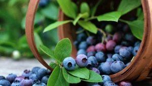 Садовая голубика: руководство по посадке и уходу
