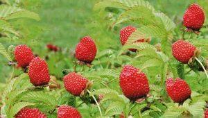 Особенности выращивания тибетской или розолистной малины
