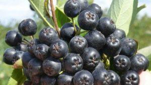 Полезные советы по выращиванию черноплодной рябины и уход за ней