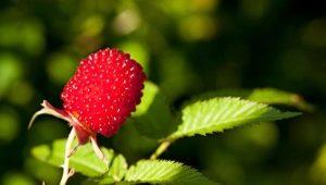 Земляничная малина: размножение и уход