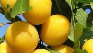 Алыча «Мара»: описание сорта и советы по выращиванию