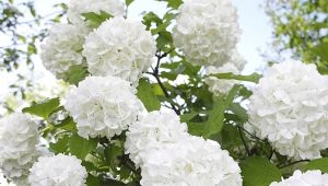 Калина «Бульденеж»: описание и выращивание